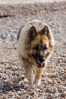 German Shepherd, Alsatian, Dog, Animal, Pet, Canine