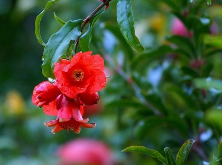 Flowers, Pomegranates, Pomegranate Blossoms, Red