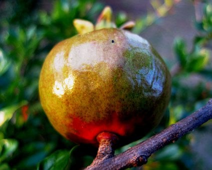 Fruit, Pomegranate, Red, Green, Ripening, Swelling