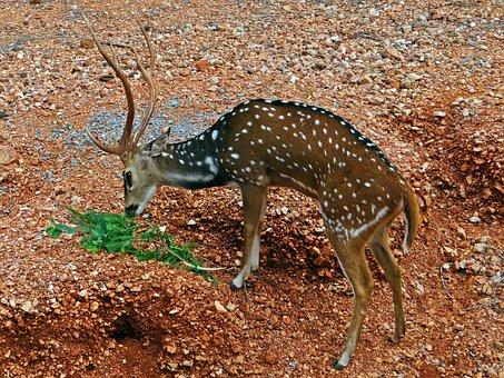 Spotted Deer, Chital, Cheetal, Gadag, Karnataka, India