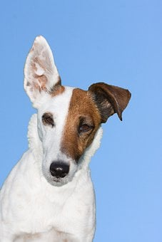 Dog, Terrier, Fox Terrier, Smooth Fox Terrier, Animal