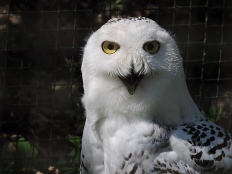 Snowy Owl, Nyctea Scandiaca, Owl, Bird, Animal, White