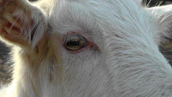 Cow, Animal, Cow Head, Eye, White, Fur, Kuhauge, Lycaon