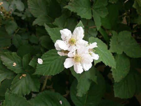 Blackberry, White Flowers, Rosaceae, Genus Rubus