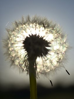 Dandelion, Make A Wish, Blow, Wishing, Seed, Field