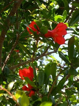 Pomegranate, Flowers, Pomegranate Flowers, Young Fruit