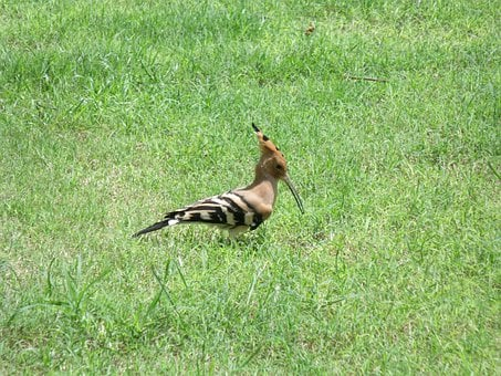 Hoopoe, Bird, Beak, Long, Crest, Grass, Feeding, Upupa