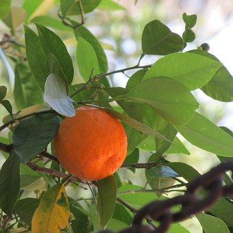 Bitter Orange, Plant, Orange, Food, Natural, Tree