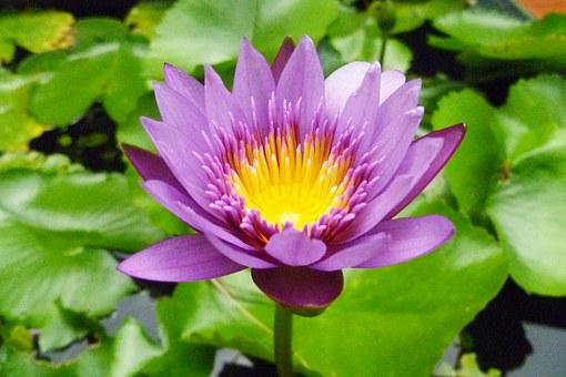 Thailand, Samui Iceland, Flowers, Lotus, Blossom, Bloom