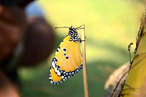 Blue Tiger Butterfly, Butterfly, Insect, Blue Tiger