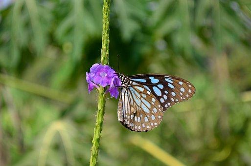 Butterfly, Blue Tiger, Tirumala Limnacea, Fauna, Blue