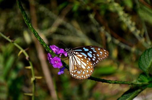 Blue Tiger Butterfly, Butterfly, Flower, Insect