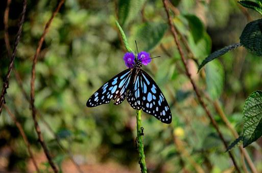 Blue Tiger, Butterfly, Insect