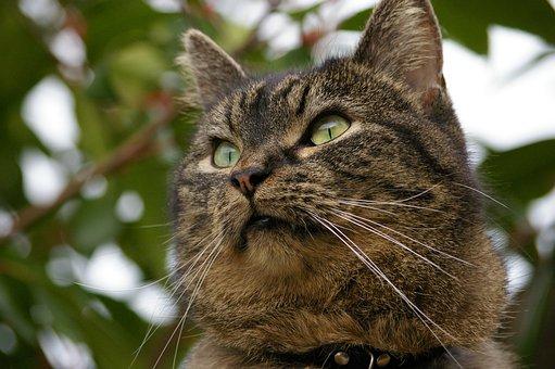 Cat, European Shorthair, Animal