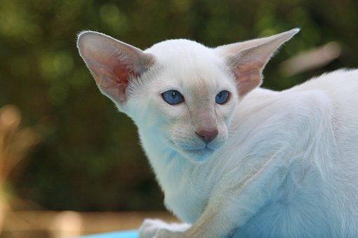 Cat, Kitten, Siamese Cat, Fur, Charming, Animal