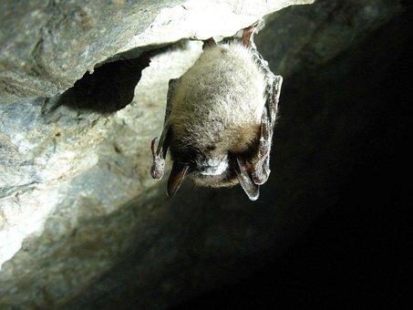 Lucifugus, Myotis, Cave, Bat, Brown, Little, Bats