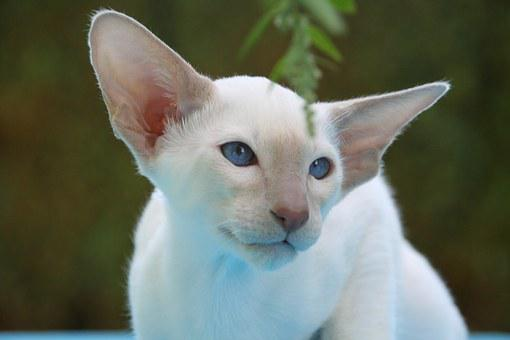 Cat, Siamese Cat, Fur, Charming, Animal, Carnivores