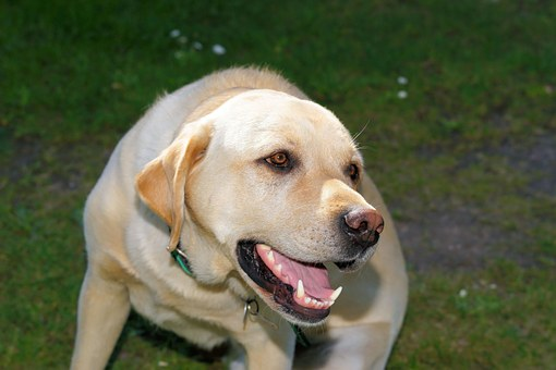 Dog, Labrador, Male, Pet, White, Close, Head, Animal
