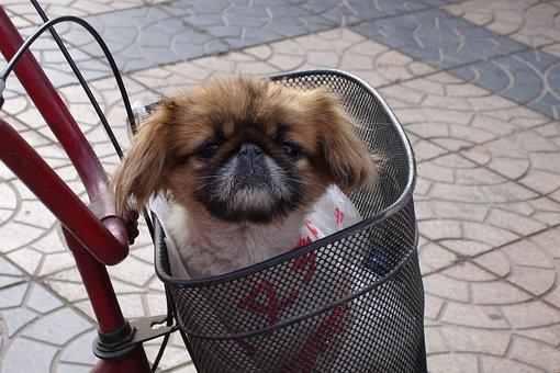 Dog, Pekinese, Animal