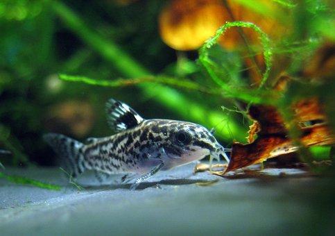 Dwarf Corydoras, Aquarium, Fish, Aspidoras