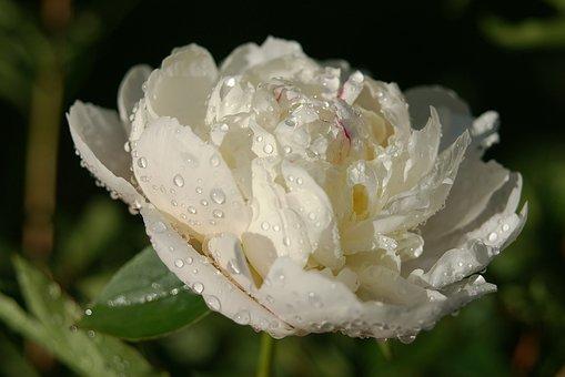 Pion, Flower, Festiva Maxima, Drops, Rain, Sweden