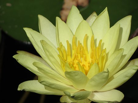 Garden, Pond, Lily, Waterlilies, Yellow, Plants