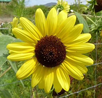 Flower, Yellow, Sunflower, Daisy, Summer, Garden