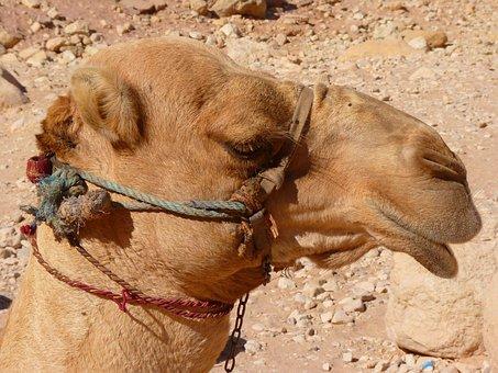 Petra, Jordan, Holiday, Travel, Middle East, Camel