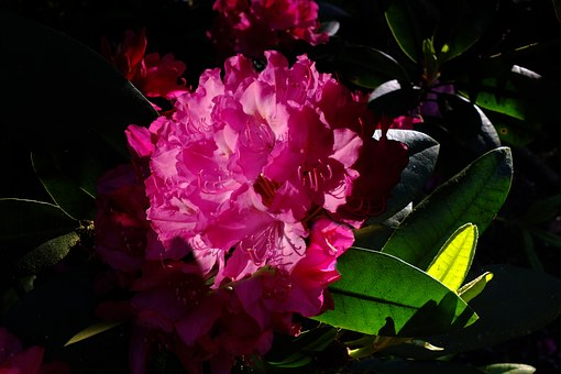 Rododendron, Lily, Flower, Backlighting, Lichtspiel