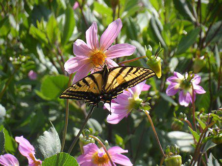 Butterfly, Butterfly And Daisy, Mexican Butterfly