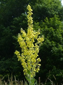 Flower, Large Flowered Mullein, Mullein