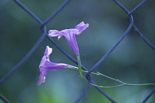 Flora, Nature, Violet, Ruellia Brittoniana