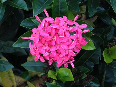 Penta, Pink, Plants, Flower, Nature, Tropical