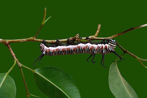 Catapillar, Butterfly, Pupae