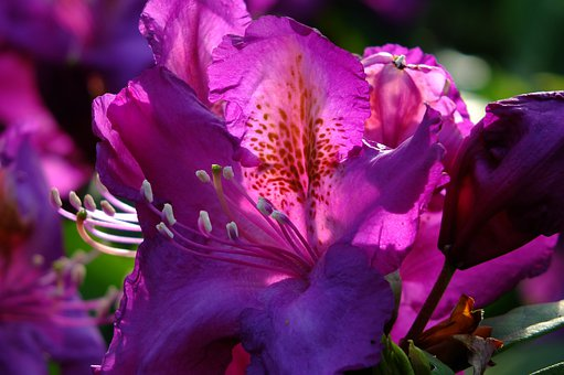 Rhododendron, Lily, Flower, Backlighting, Flowers