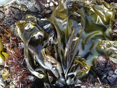 Seaweed, Sea, Shore, Northern California, Ocean, Plant