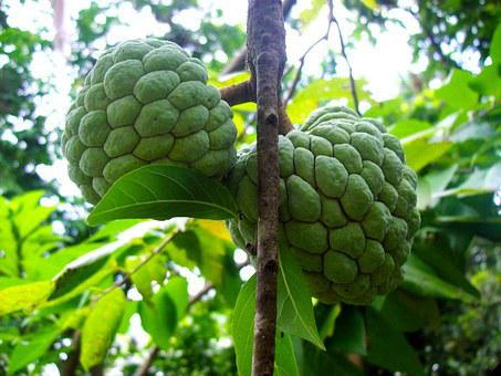 Sugarapple, Sweetsop, Fruit, Nutritious