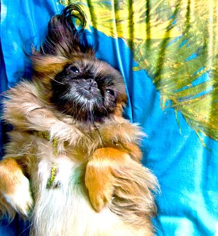 Pekinese, Dog, Sweet, Rest, Summer, Animals