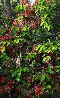 Shorea Roxburghii, Taloora Lac Tree, Lac Tree