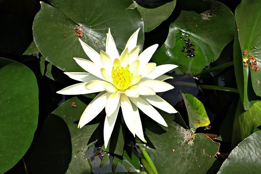 Water Lily, Banana Waterlily, Yellow Waterlily