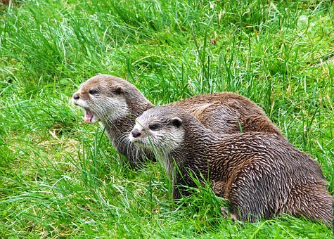 Otters, Animals, Mammals, Two, Angry, Wildlife