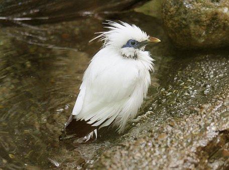 Bali Starling, Bird, Animal, Zoo, Nature