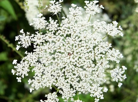Flower, Queen, Anne, Lace, Weed, White, Flora, Floral
