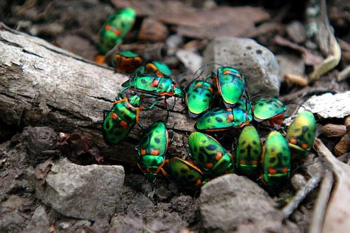Beetles, Christmas Beetles, Insect, Nature