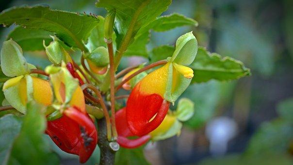 Impatiens Congolensis, Parrot Plant, Blossom, Bloom