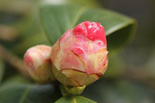 Camellia Bud, Red, Garden, Spring