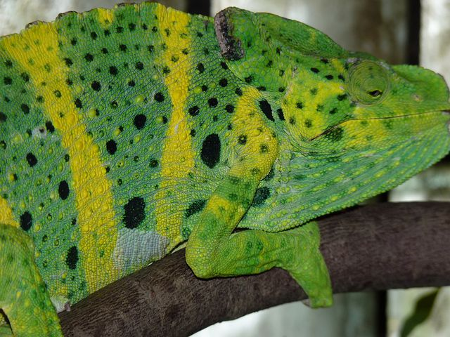 Common Chameleon, European Chameleon