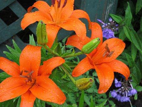 Day, Lilies, Daylily, Summer, Orange Daylily
