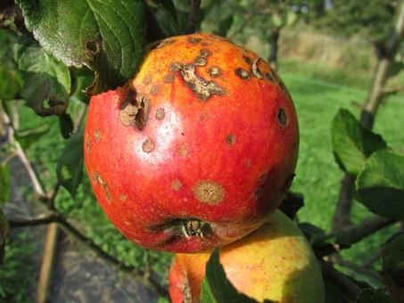 Apple, Blight, Decay, Disease, Corruption, Bad
