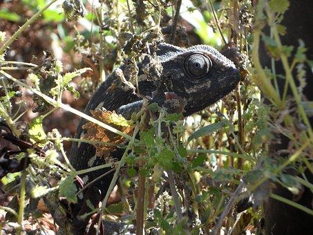 Chameleon, Common Chameleon, European Chameleon